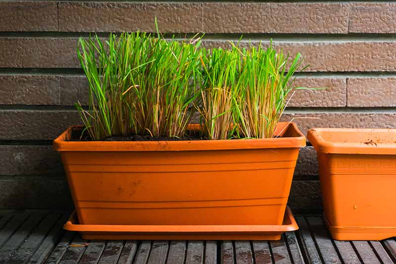 A close up of a plastic terra cotta colored rectangular container with lemongrass plants pruned so only their stalks are left, and the leaves removed. The pot is on a wooden surface and the background is a brick wall.