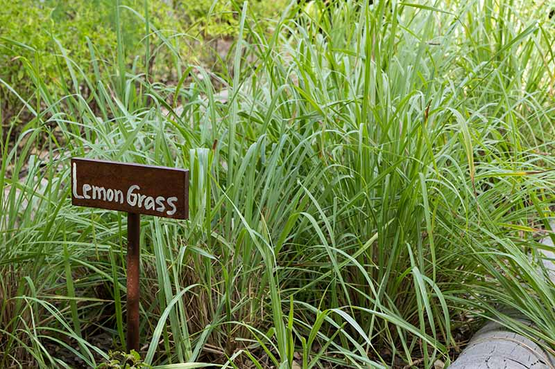 A close up of lemongrass plants with upright bright green leaves growing outdoors in a raised bed. To the left of the frame is a wooden sign in the ground amongst the plants.