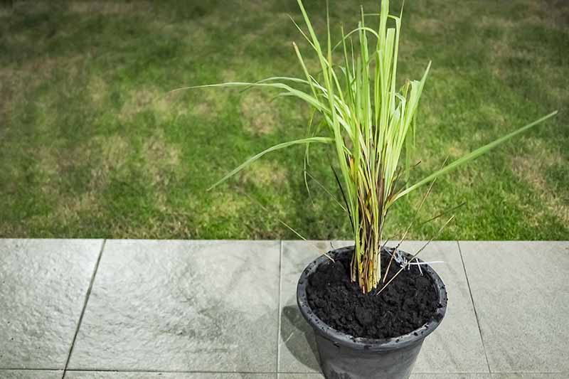 A black plastic pot containing rich dark soil and a lemongrass plant with light stems and green upright leaves, on a gray tiled surface. In the background is grass lawn.