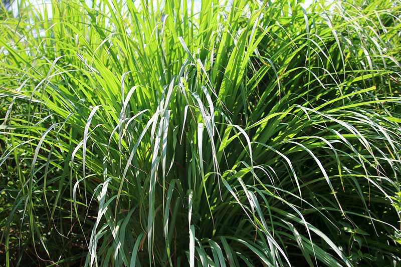 A close up of a large clump of lemongrass with long, dark green leaves in bright sunshine fading to soft focus in the background.