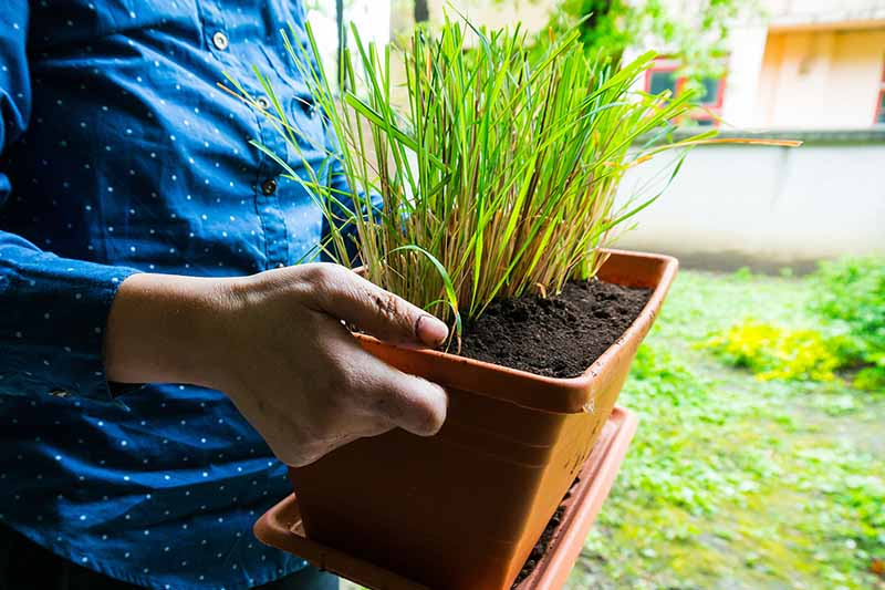 Two hands from the left of the frame holding a rectangular terra cotta container with lemongrass plants in rich soil. In the background is grass and a concrete wall in soft focus.