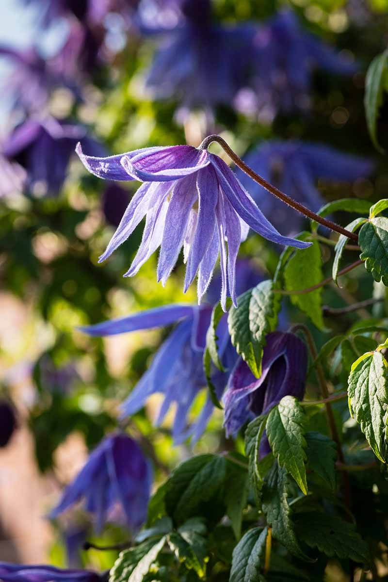 A vertical picture of bright blue 'Maidwell Hall' flowers on the vine contrasting with the green leaves surrounding them. The background fades to soft focus in light sunshine.