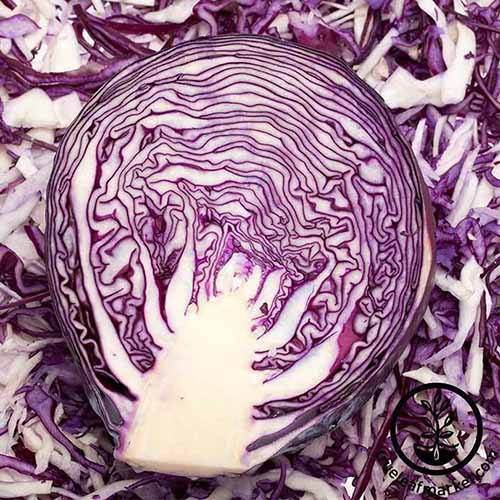 A close up of a 'Mammoth Red Rock' cabbage cut in half. With purple and white leaves in a tight head, the background is the same vegetable chopped into small pieces.