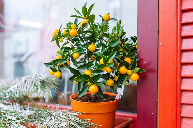 A small fruiting mandarin tree in an orange pot on a windowsill with a pine bough in front of it. The background is red shutters and a glass window.