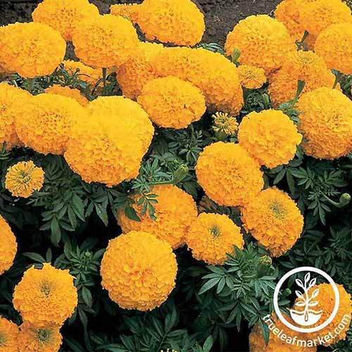 A close up of a marigold plant with bright yellow pom-pom flowers contrasting with the dark green leaves. In the bottom right of the frame is a white circular logo with text.