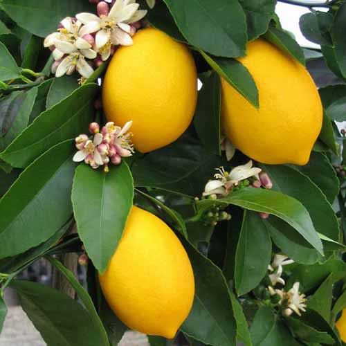 A close up of a 'Meyer' lemons ripe on the tree, with flowers and foliage surrounding them.