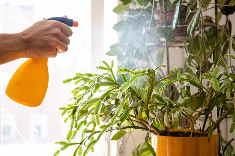 A hand from the left of the frame holding an orange and blue spray bottle, misting a Christmas cactus plant pictured in bright sunlight. The background is a window fading to soft focus.