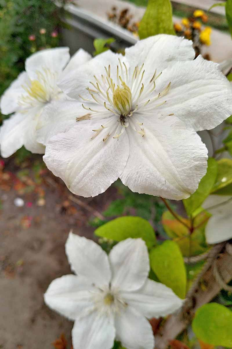 A close up of a white 'Moonlight' flower with large filaments in the center. In the background are leaves against a concrete surface in soft focus.
