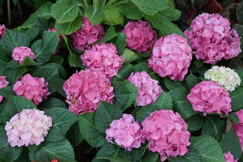 Pink and white and red mountain hydrangea (h. serrata) flowers.