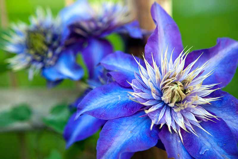 A close up of a vivid blue 'Multi Blue' flower with light stripes down the petals and a large center of light blue fading to yellow. The background is blue and green in soft focus.