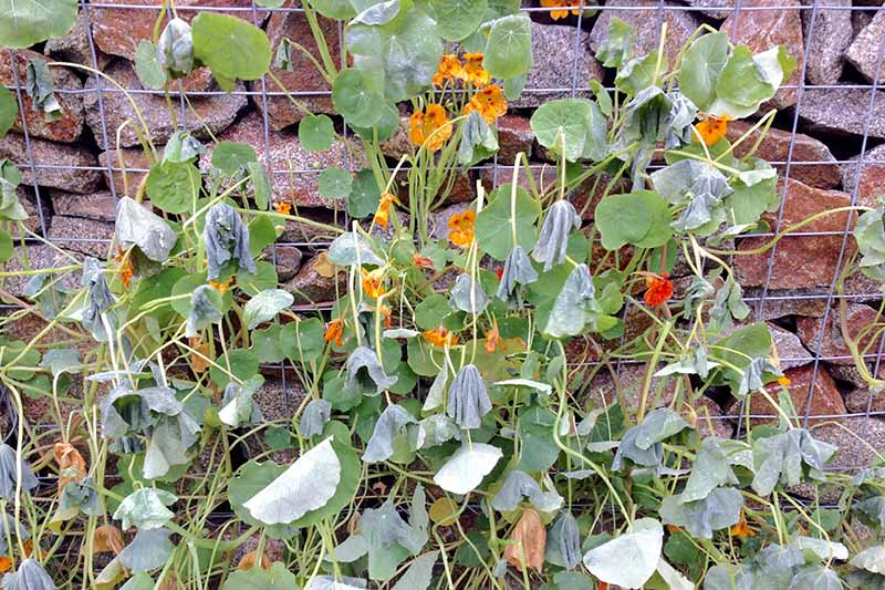 A Tropaeolum majus plant growing up a wire trellis on a stone wall. The plant is suffering from frost damage, with wilting and dying flowers and leaves.