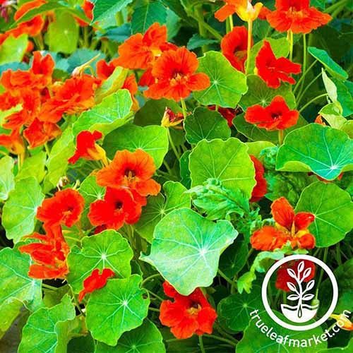 A close up of a nasturtium plant with bright red flowers and large, flat pale green leaves in bright sunlight. To the bottom right of the frame is a white circular logo with text.