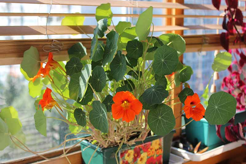 A close up of a Tropaeolum majus plant with red flowers and flat green leaves growing in a container on a windowsill. In the background is soft sunlight coming through the window.