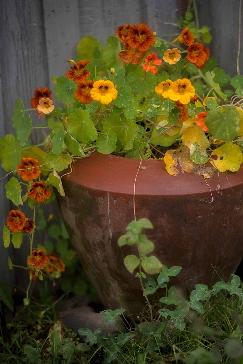 A Tropaeolum majus plant growing outdoors in a large clay pot, the yellow and orange flowers trailing over the side and contrasting with the flat green leaves.