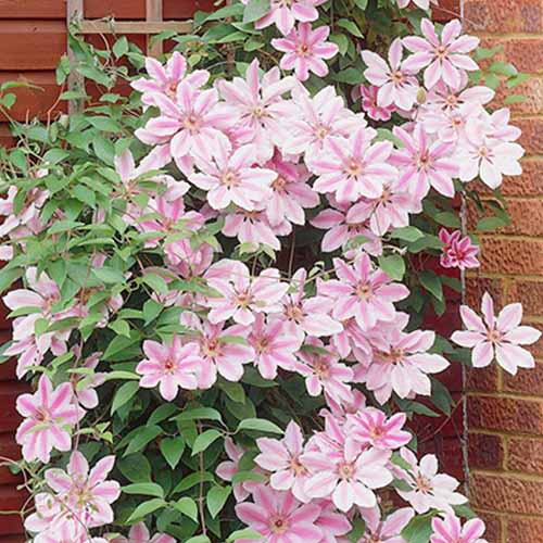 A close up of a 'Nelly Moser' climbing up a brick wall. Bright pink and white flowers in abundance, contrasting with the green leaves surrounding them.