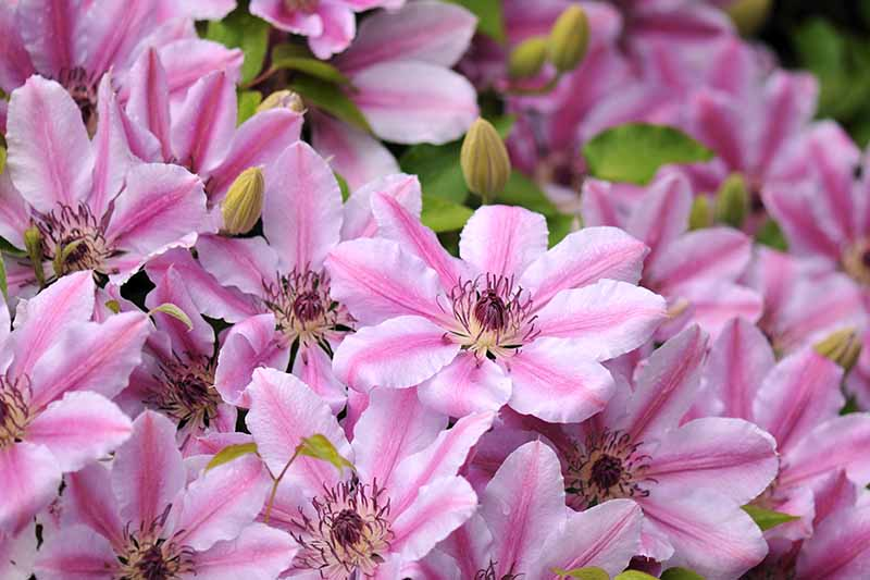 A close up of light pink with dark pink stripes 'Nelly Moser' flowers. Yellow and purple filaments in the center contrast with the light petals. The background fades to soft focus.