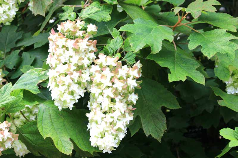 A close up horizontal image of the white flowers of the oak leaf hydrangea surrounded by foliage.