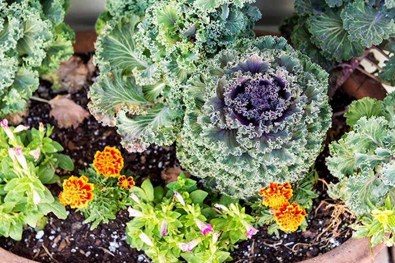 A terra cotta pot showcasing purple and green ornamental Brassica oleracea amongst orange and red flowers with a sprinkling of light purple flowers.