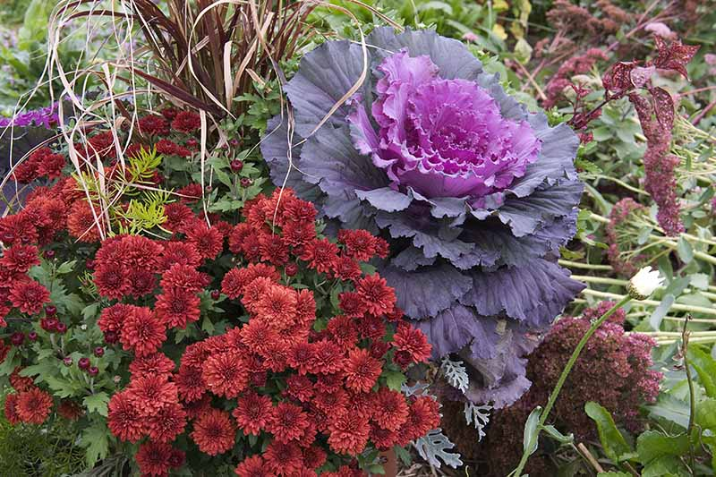 A large ornamental Brassica oleracea var. acephala plant with vivid purple leaves growing in a container with deep red flowers amongst green foliage fading to soft focus in the background.