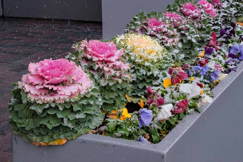 A gray outdoor planter containing a variety of ornamental Brassica oleracea planted with flowers of various colors. Light snow is falling and settling on the plants. In the background is a brick surface and gray walls.