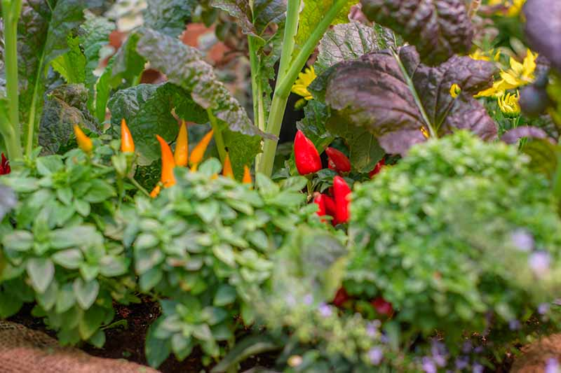 A raised garden border with a selection of different herbs and vegetables, from leafy greens to decorative fruiting peppers and yellow flowers.