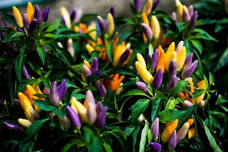 A close up of purple, orange, and yellow ornamental peppers, their vivid colors contrasting with the dark green foliage.