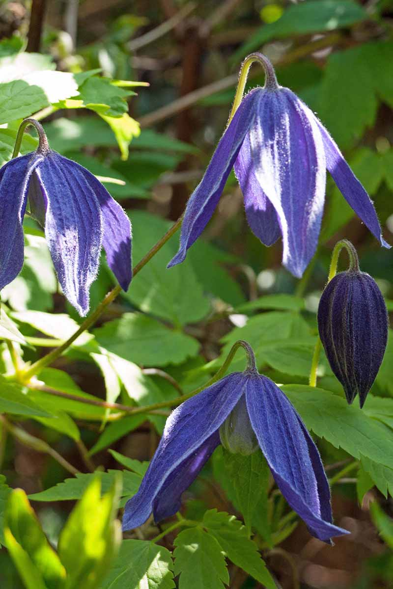 A close up vertical picture of blue 'Pamela Jackman' flowers, bell-shaped they are hanging downwards from the vine in soft sunlight. In the background are leaves fading to soft focus.