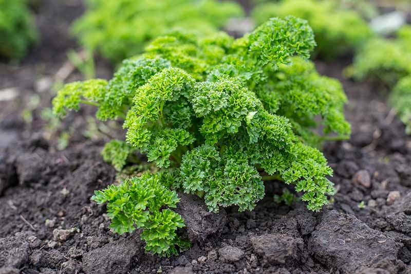 A close up of a small parsley plant growing in dark rich soil with bright green curly leaves in soft sunlight.