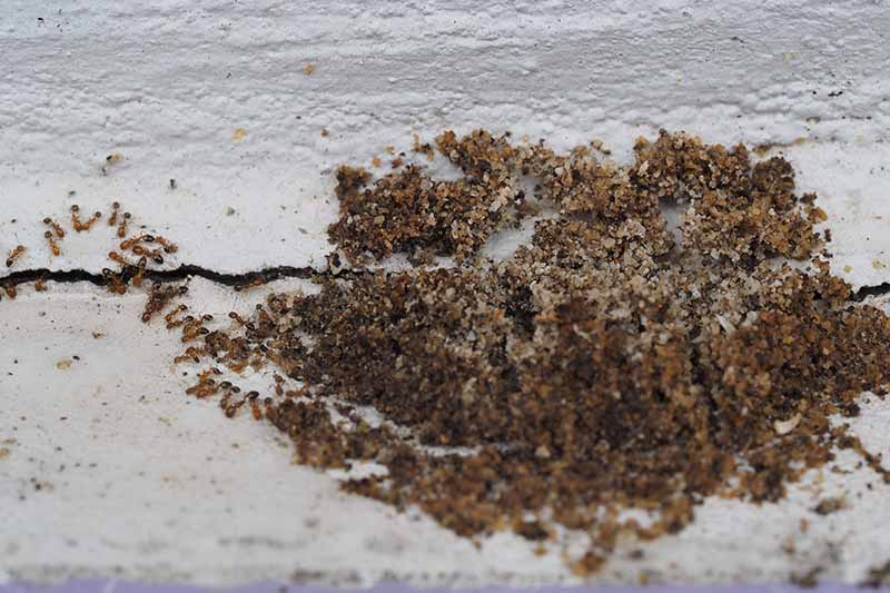 A close up of a colony of pavement ants with sand around a crack in a white wall. The insects are seen to the left of the frame coming out of the wall.