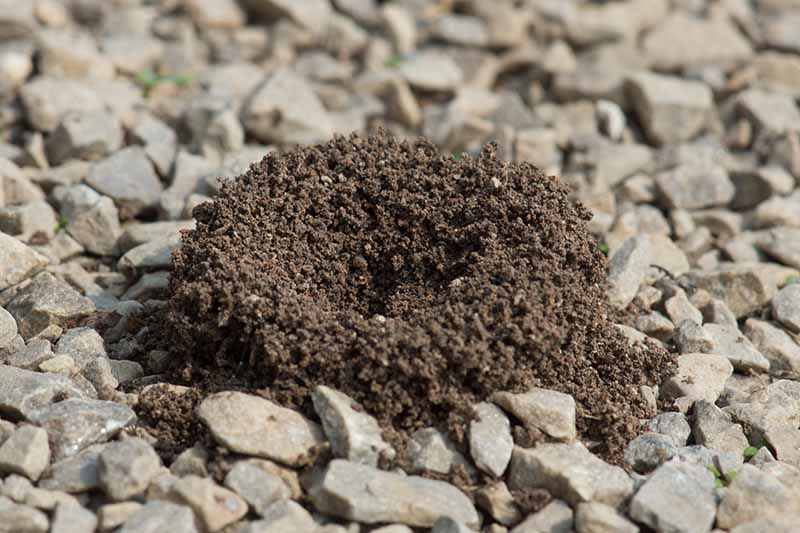 A close up of an ant hill, a small circular pile of soil in amongst gravel.