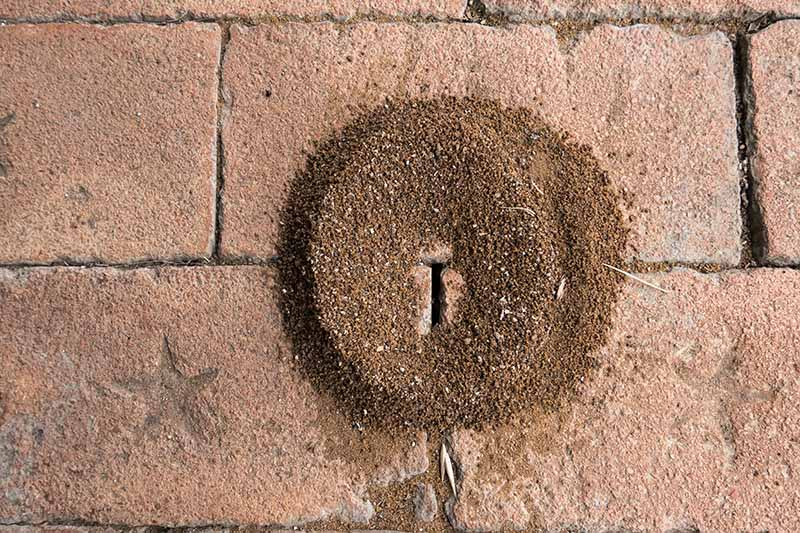 A close up of a small ant hill, a pile of sand on a brick surface where the insects have dug in between the cracks in the bricks. The sand is arranged in a circular shape.