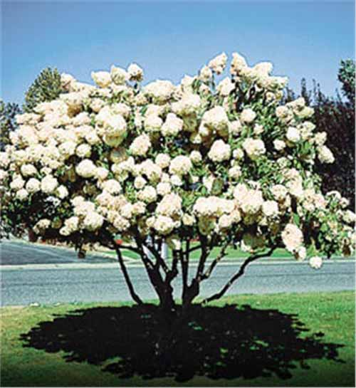 Pee Gee Hydrangea with white blooms.
