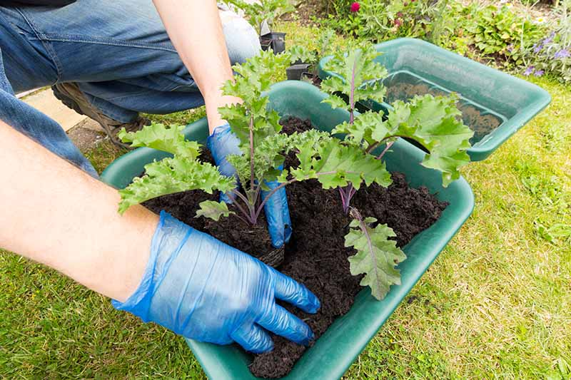 A close up of hands wearing blue gloves planting kale seedlings into a green plastic pot, in dark potting soil. In the background is green grass.