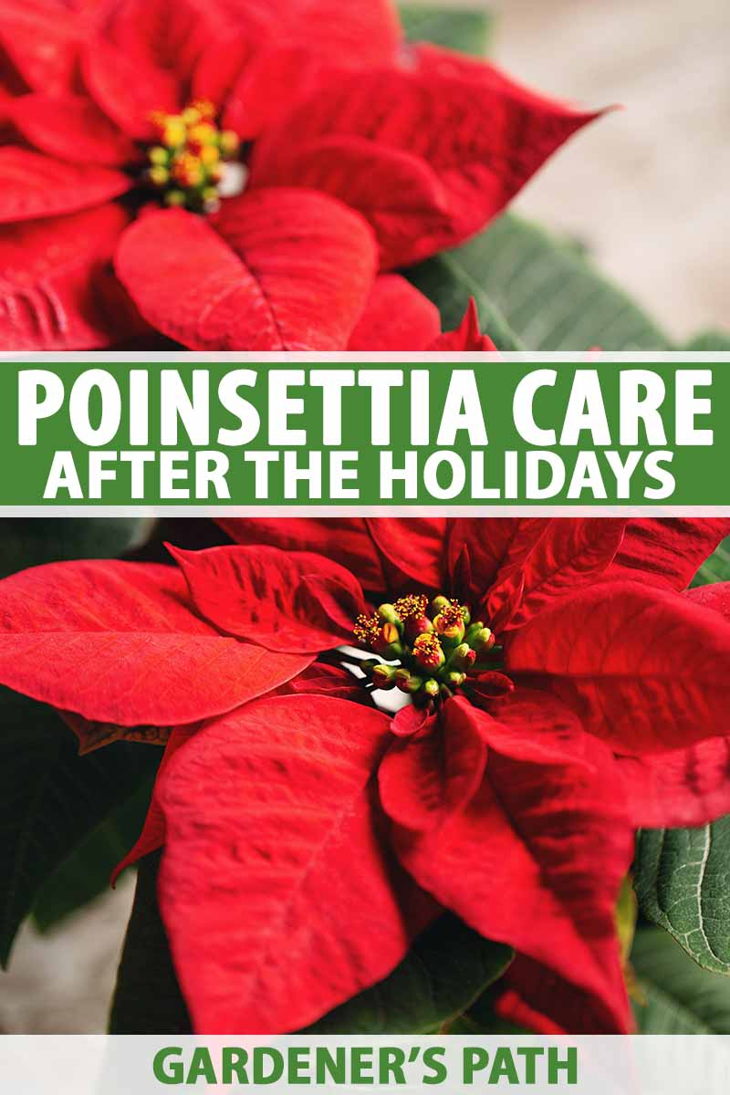 How To Care For Poinsettia After The Holidays Gardener S Path