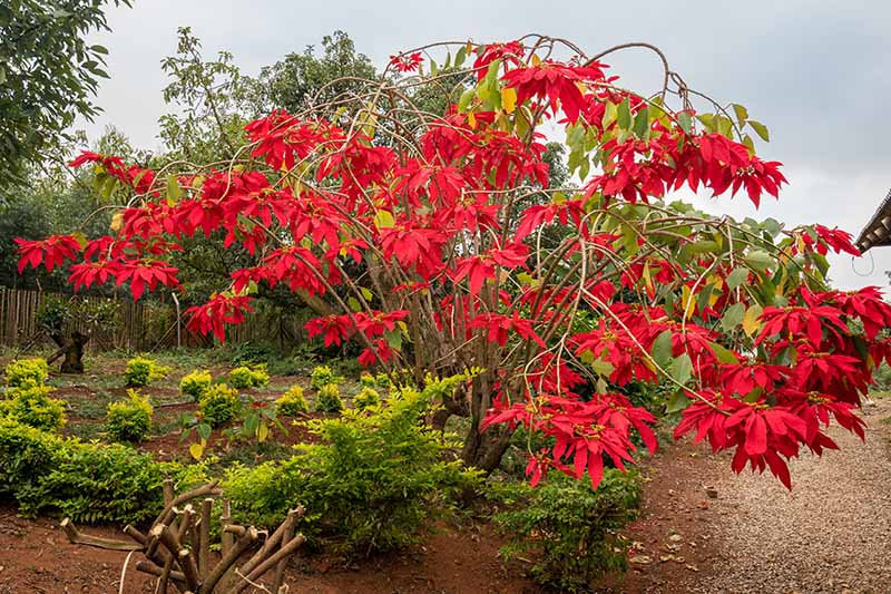 A large Euphorbia pulcherrima plant growing outdoors in the garden with a mass of bright red leaves contrasting with the green surrounding it. The background is a garden scene in soft focus.