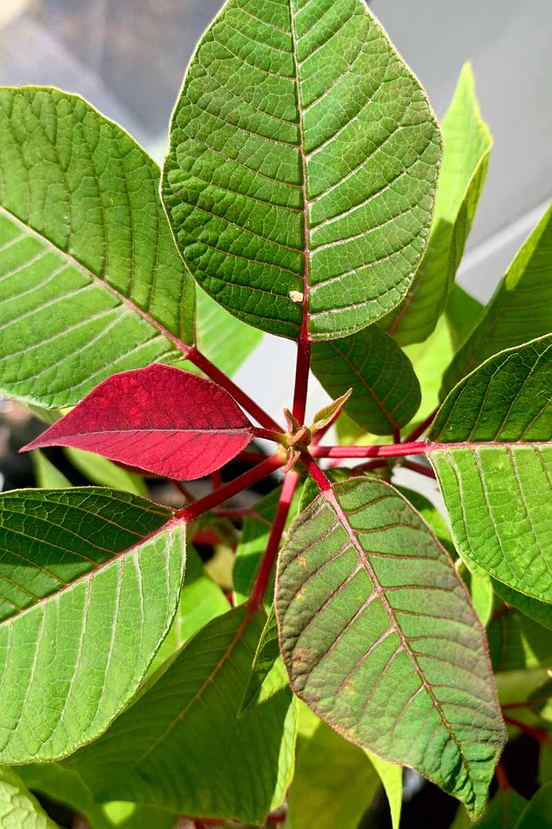 A vertical close up picture of the top of a poinsettia plant with one of the leaves just turning red against a soft focus background.