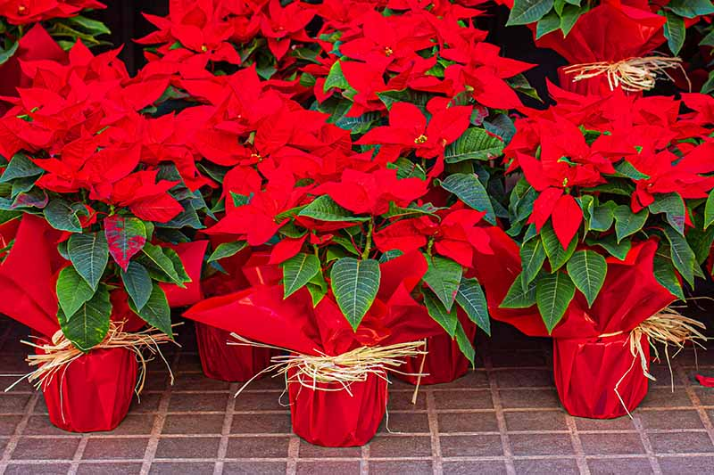 A close up of a group of poinsettia plants with decorative wrapping around the pots, their bright red bracts contrasting with the green leaves, on a tiled surface.