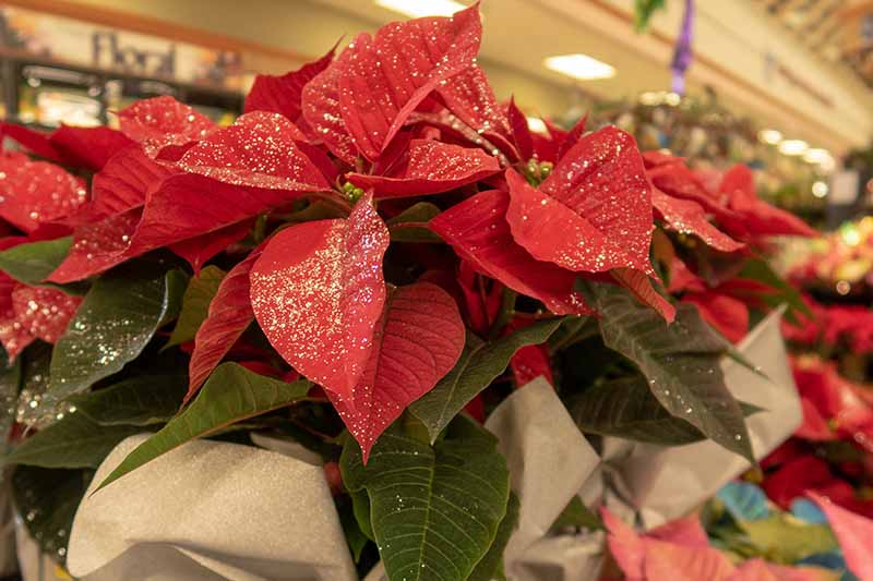 A close up of a poinsettia plant in a store which has been painted with glitter on the red and green leaves, the background is soft focus.
