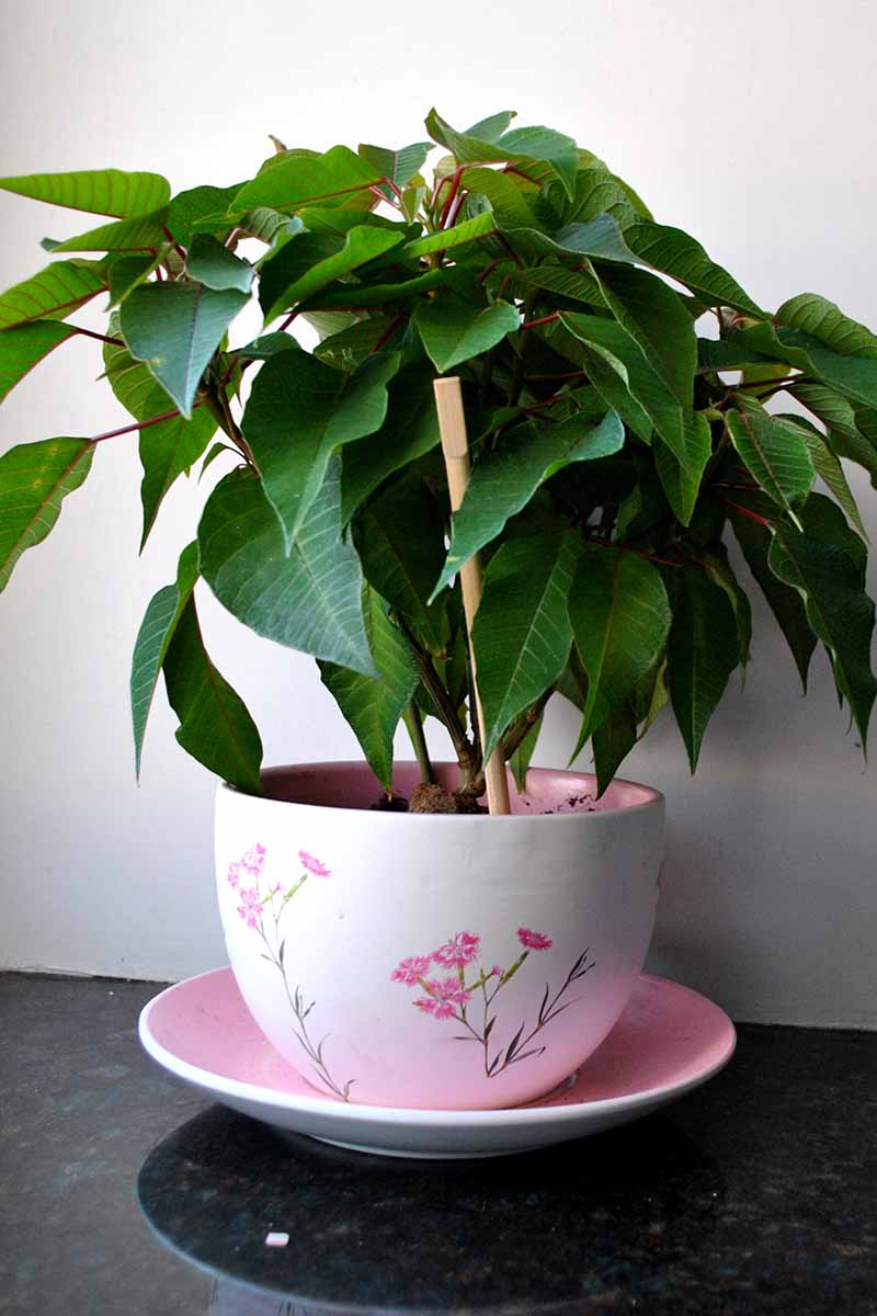 A close up of a poinsettia plant with no characteristic red leaves, in a pink decorated pot and pink saucer, on a granite surface. The background is a white wall.
