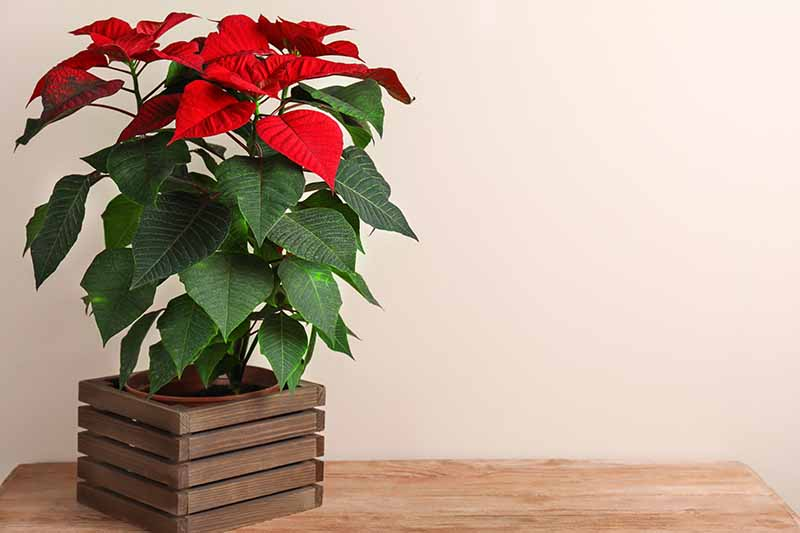 A poinsettia plant in a decorative wooden pot with bright red bracts and green leaves on a wooden surface and a white background.