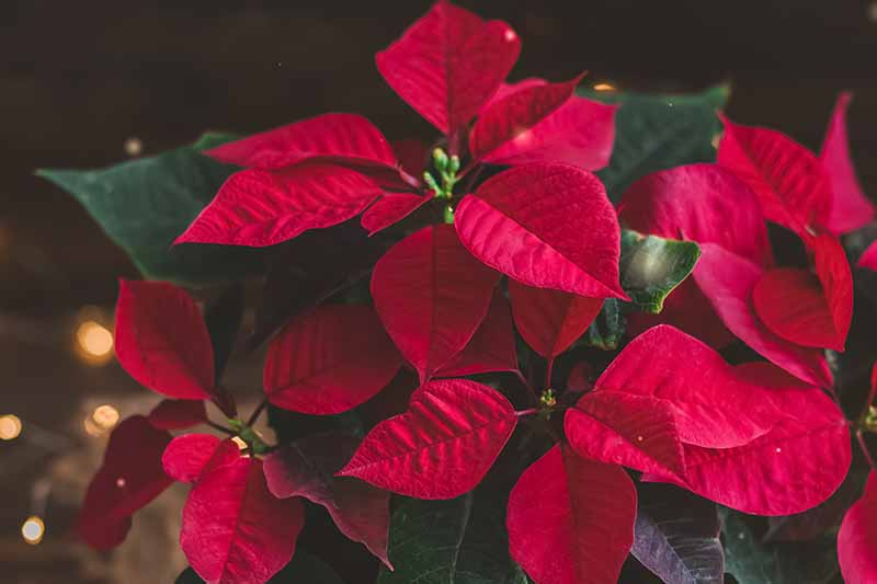 A close up of bright red poinsettia bracts on a dark background with Christmas lights.