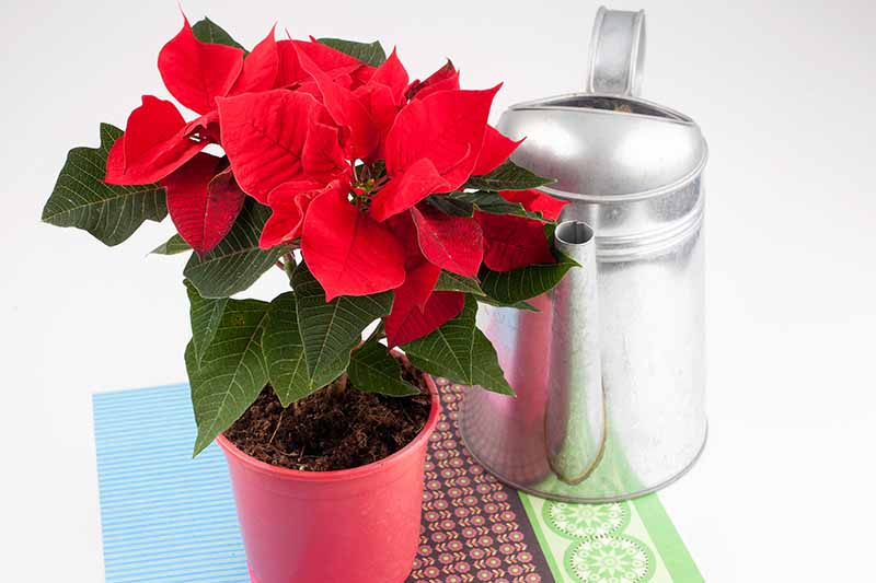 A poinsettia plant in a small red pot with bright red bracts contrasting with dark green leaves, on a colorful fabric with a metal watering can to the right of the frame.