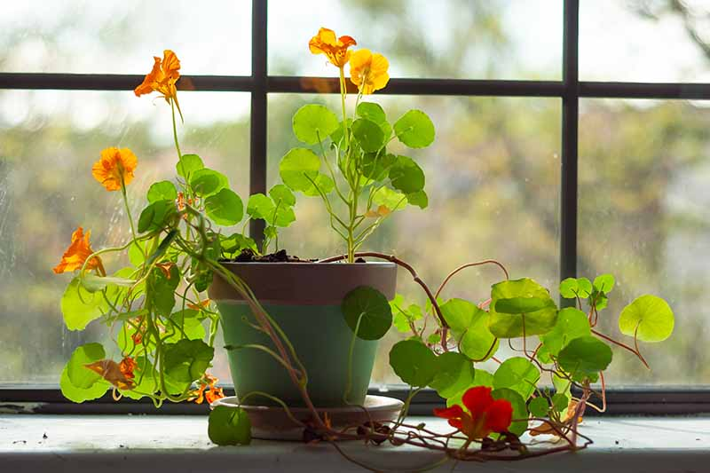 A nasturtium plant in a green pot growing on a windowsill in the winter. There are red and yellow flowers contrasting with the large flat green leaves, in light sunshine.