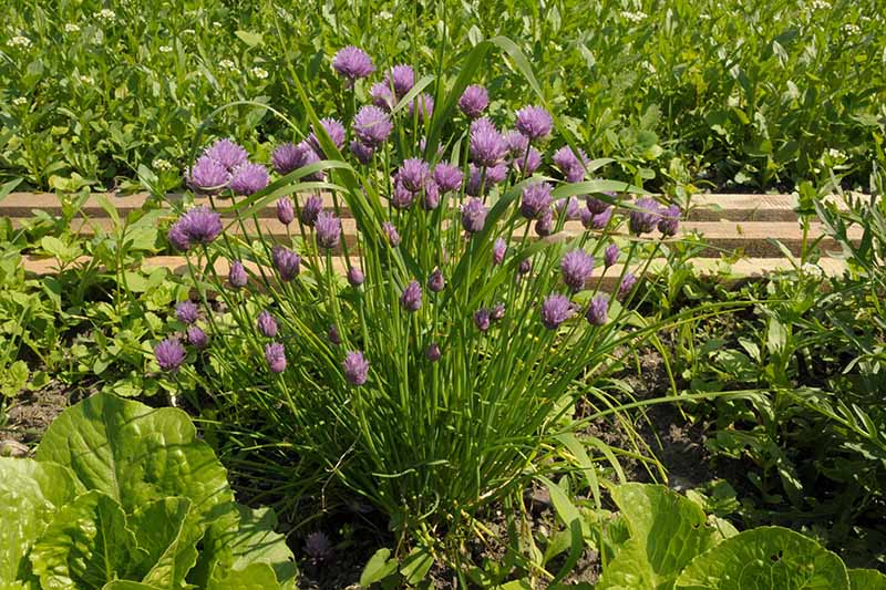 A close up of a chive plant with vivid purple blooms growing in a raised garden bed amongst other vegetable plants in bright sunshine.