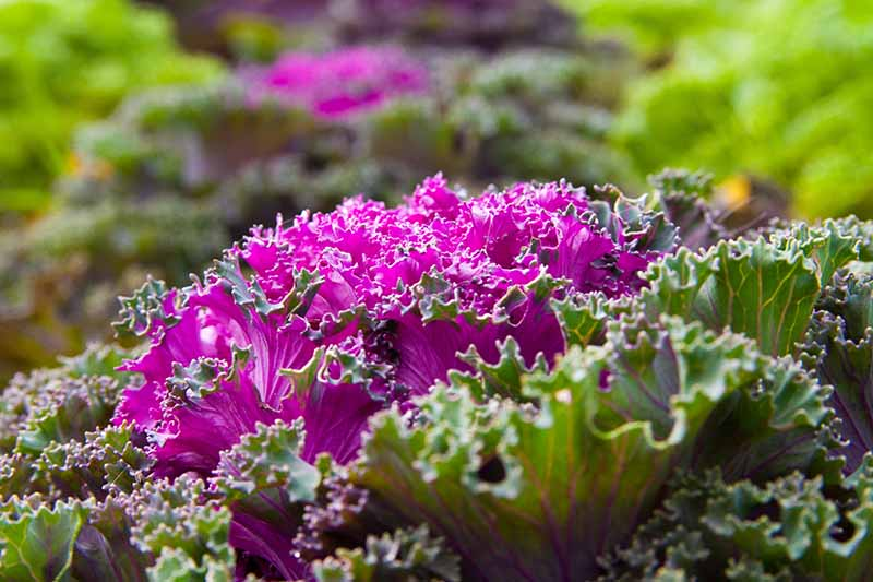 A close up of a purple ornamental kale plant with bright purple leaves surrounded by green leaves with purple veins in bright sunshine. The background fades to soft focus.