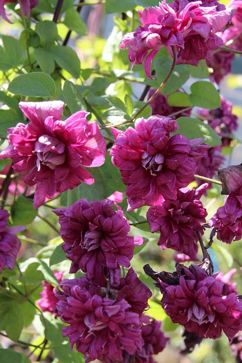 A vertical picture of pinkish purple 'Purpurea Plena Elegans' cultivar flowers. In the background are green leaves fading to soft focus in bright sunlight.