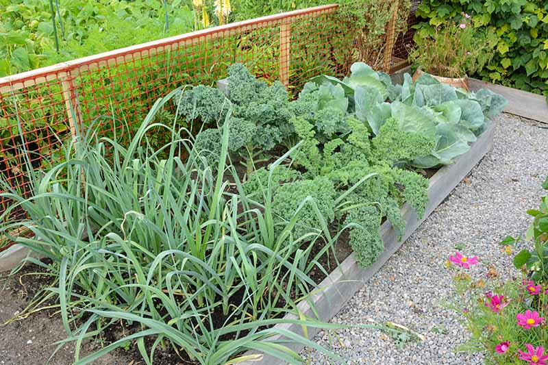 Raised garden beds with gravel pathways in between them, showing mature kale plants growing amongst cabbage, onions, and other companion plants. In the background is an orange plastic mesh fence and more vegetable plants.