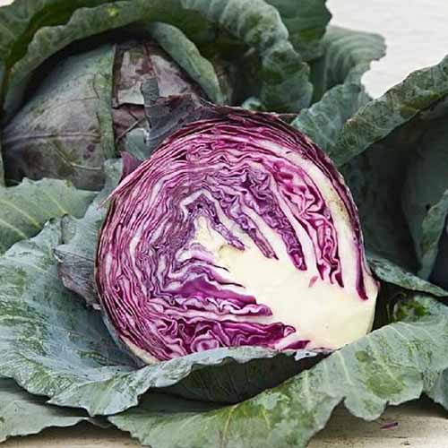 A close up of 'Red Acre' cabbage cut in half showing the dark purple leaves, in the background is a freshly harvested head with large flat leaves around the outside.