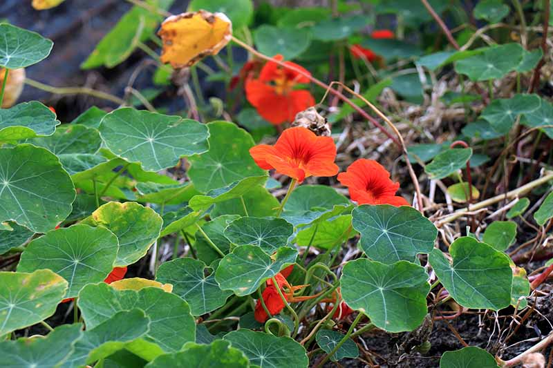 A close up of a nasturtium plant with bright red flowers and large, flat green leaves growing in the garden. The background is soil and vegetation fading to soft focus.