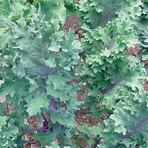A close up of the 'Red Winter' variety of kale plant, with purple stems contrasting with the green leaves. The background is soil in soft focus.